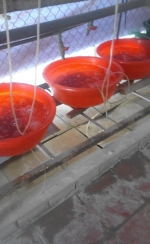 Trang Trại lươn giống, cá chạch lấu giống nhân tạo Thanh Tân có bán trùn chỉ giá rẻ